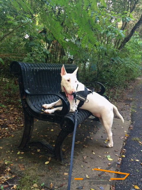 All-purpose Nylon Dog Harness for Strong Breeds as English Bullterrier