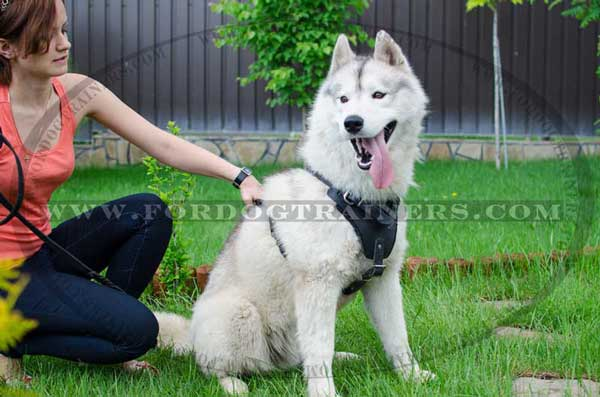 Leather Siberian Husky Harness for attack work