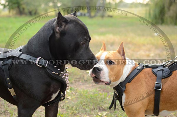 Adjustable Quality Staffordshire Terrier Harness Leather Spiked