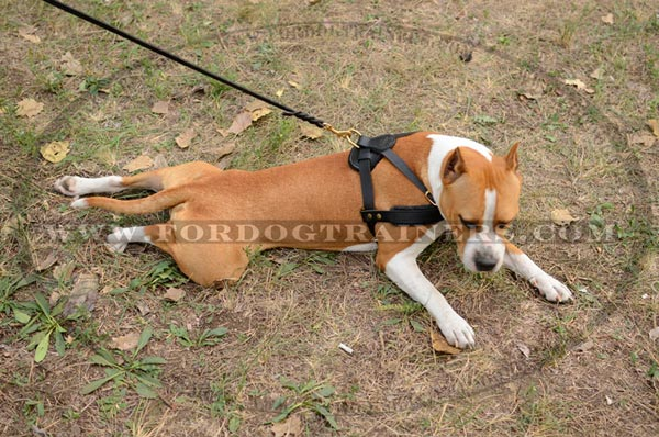 Leather Pulling Staffordshire Terrier Harness