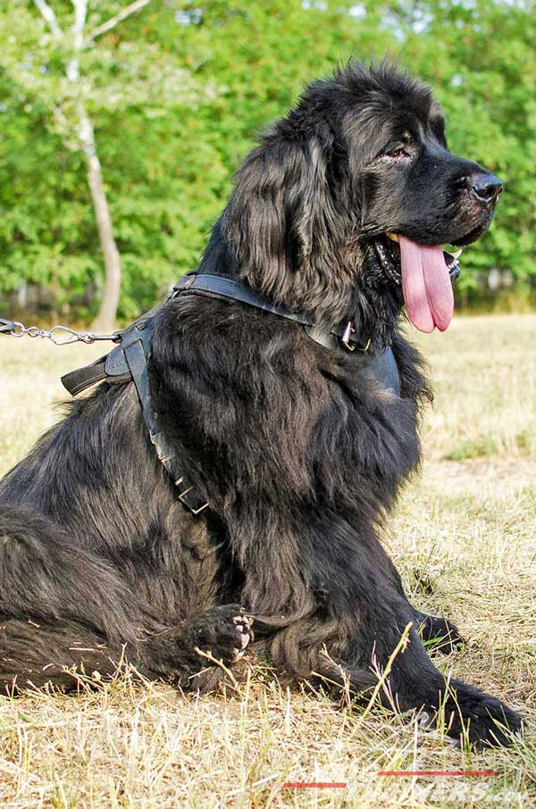 Easy adjustable leather Newfoundland harness for snug fit