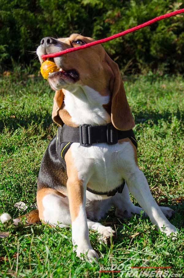Indispensable Nylon Dog Harness Make The beagle Interested In Various Games