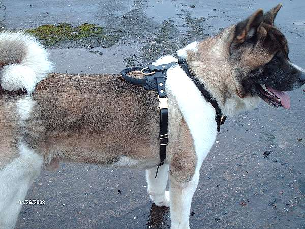Agitation / Protection / Attack Leather Dog Harness Perfect For Your Akita H1