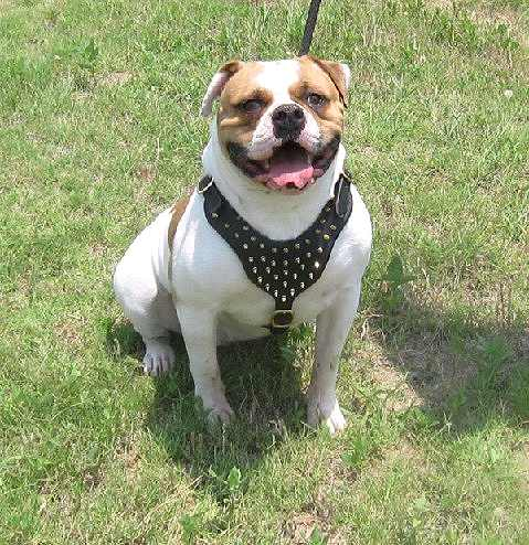 Lonestar Baby wearing our Spiked Walking dog harness made of leather And Created To Fit American Bulldog and similar breeds - pr