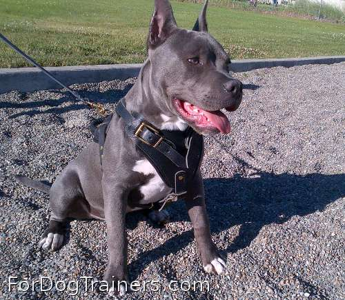 BOSS ZUES is courageous in Agitation / Protection / Attack Leather Dog Harness