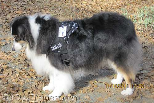 Carly Australian Shepherd wearing our All Weather Extra Strong Nylon Harness - H6