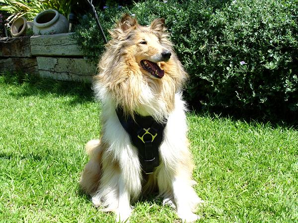 Exclusive Luxury Handcrafted Padded Leather Dog Harness-Collie