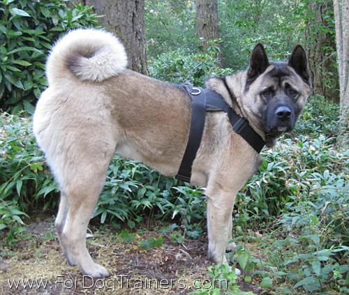Akita looking Handsome in our Extra Strong Nylon Dog Harness