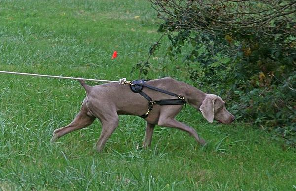 Logan wearing our exclusive Tracking / Pulling / Agitation Leather Dog Harness For Weimaraner H5