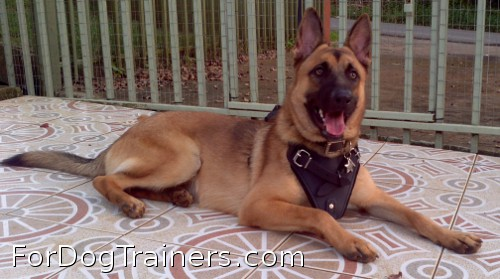 Agitation / Protection / Attack Leather Dog Harness - H1 looks good on Rockey