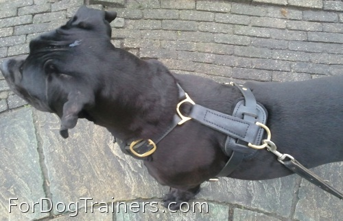 Nikita looking elegant in Exclusive Luxury Handcrafted Padded Leather Dog Harness