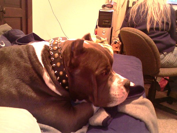 Wide Leather Dog Collar with Spikes and Studs for Pitbull Fashion Walking