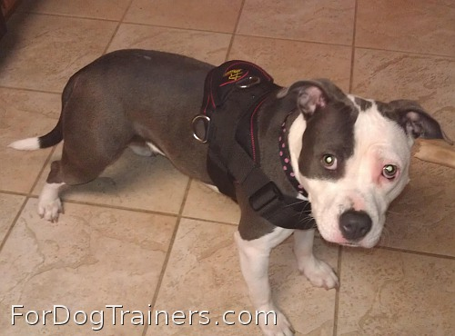 Missy is adorable in All-Weather dog harness specially designed for Pitbulls