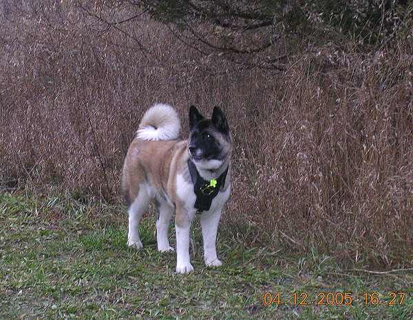 Akita Dog Harness padded plate