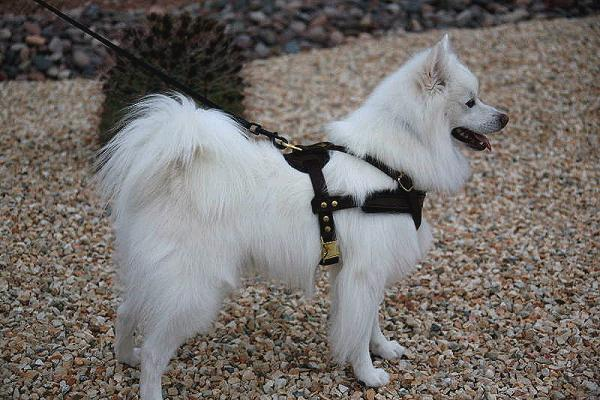 Tracking / Pulling / Agitation Leather Dog Harness For dog H5
