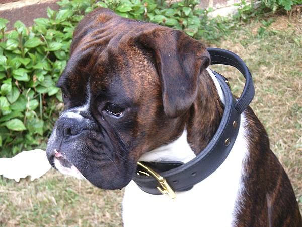 Boxer Leather Dog Collar 2 ply wide with handle