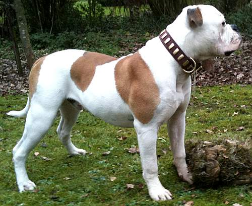 dog collar on american Bulldog