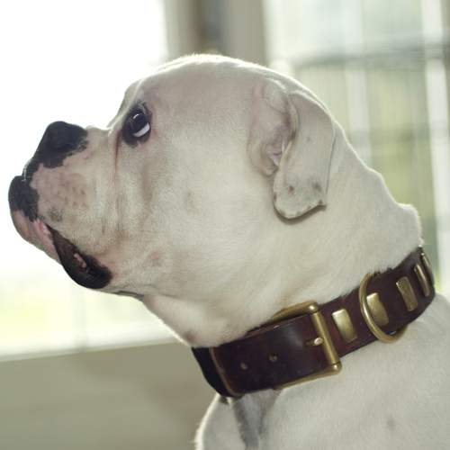 american bulldog leather dog collar