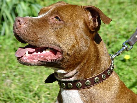 Chic Designed Leather Dog Collar for Fashionable Pitbulls