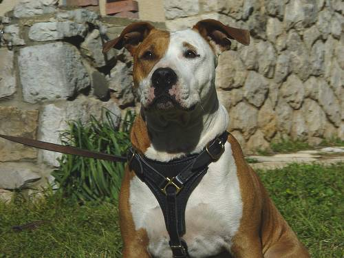 Tracking Walking leather dog harness for Amstaff