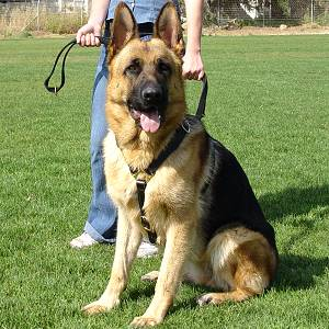German Shepherd Walking and Tracking Leather Dog Harness