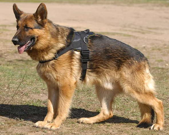 German Shepherd Nylon Harness for Working Dogs