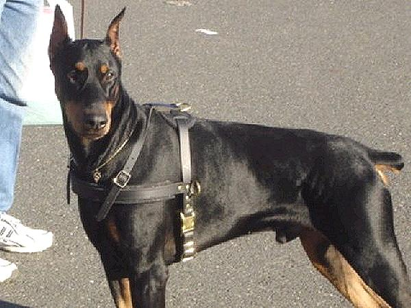 Great Attack Training Leather Canine Harness for Large/Medium Breed Dogs