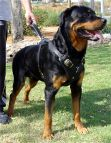 Rottweiler dog harness