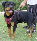 Leather dog harness for Rottweiler