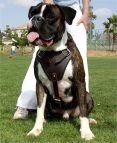Boxer leather dog harness