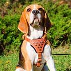 Stylish Studded Beagle Harness for Active Puppies