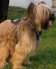 Briard leather dog harness for dog training